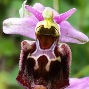 Photographie n°1872608 du taxon Ophrys fuciflora (F.W.Schmidt) Moench [1802]