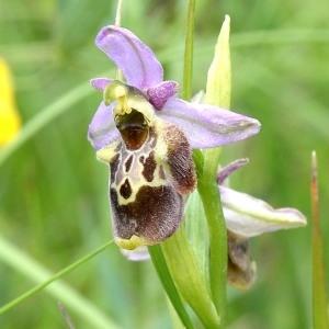 Photographie n°1908521 du taxon Ophrys fuciflora (F.W.Schmidt) Moench [1802]