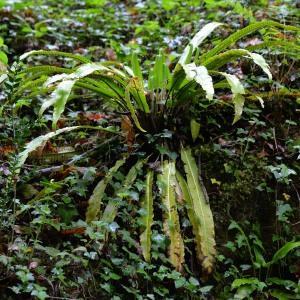 Photographie n°1921207 du taxon Asplenium scolopendrium L. [1753]