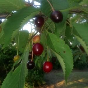 Photographie n°1924058 du taxon Prunus avium (L.) L. [1755]