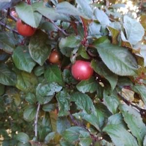 Gaultheria procumbens L. (Gaulthérie du Canada)