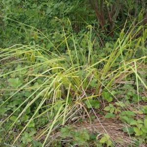 Photographie n°1929760 du taxon Carex pseudocyperus L.