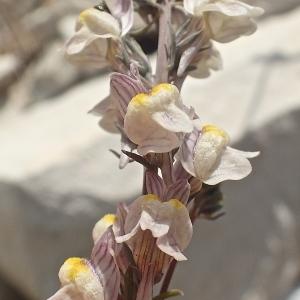 Photographie n°1932811 du taxon Linaria striata (Lam.) DC. [1805]