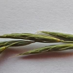 Photographie n°1934178 du taxon Brachypodium pinnatum (L.) P.Beauv. [1812]