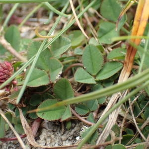 - Trifolium occidentale Coombe