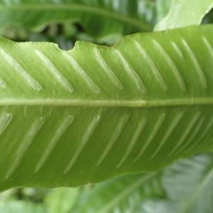 Photographie n°1941953 du taxon Asplenium scolopendrium L. [1753]