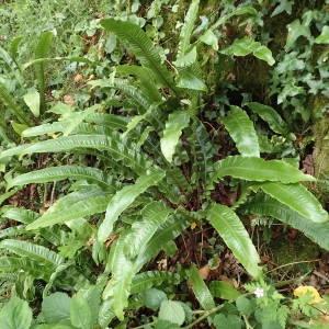 Photographie n°1941955 du taxon Asplenium scolopendrium L. [1753]