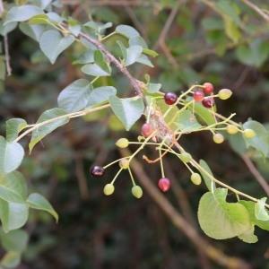 Photographie n°1943006 du taxon Prunus mahaleb L.