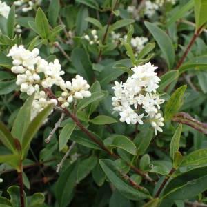 Photographie n°1945465 du taxon Ligustrum vulgare L. [1753]