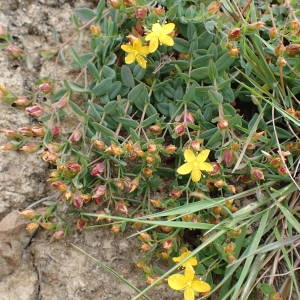 Photographie n°1945472 du taxon Hypericum humifusum L. [1753]