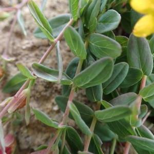 Photographie n°1945474 du taxon Hypericum humifusum L. [1753]