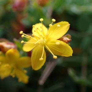 Photographie n°1945476 du taxon Hypericum humifusum L. [1753]