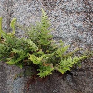 Photographie n°1948362 du taxon Asplenium adiantum-nigrum L.