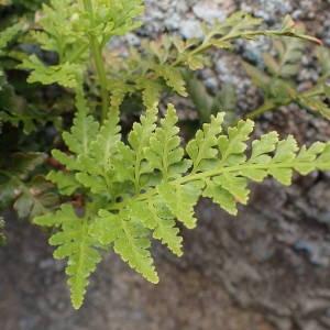Photographie n°1948366 du taxon Asplenium adiantum-nigrum L.