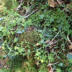 Photographie n°1949930 du taxon Hypericum humifusum L. [1753]