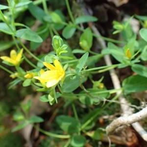 Photographie n°1949932 du taxon Hypericum humifusum L. [1753]