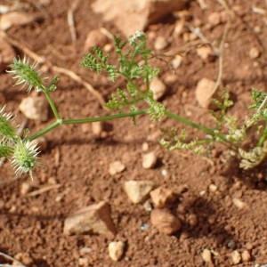 Photographie n°1951724 du taxon Caucalis platycarpos L.