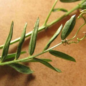 Photographie n°1951896 du taxon Vicia cracca L. [1753]