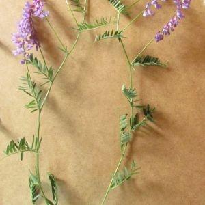 Photographie n°1951897 du taxon Vicia cracca L. [1753]