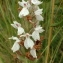 Florent Beck - Dactylorhiza Neck. ex Nevski