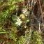 Florent Beck - Ranunculus L. [1753]