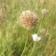 Florent Beck - Armeria arenaria (Pers.) Schult.
