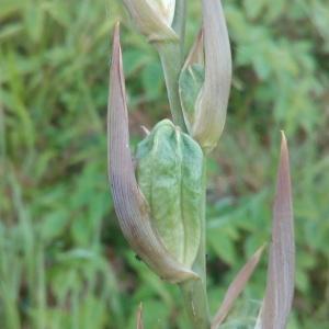 Photographie n°1952547 du taxon Gladiolus communis L. [1753]