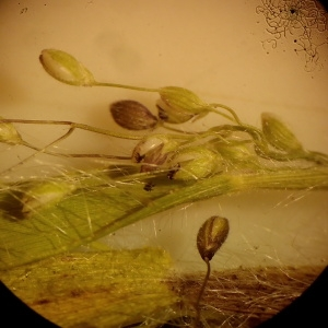 Photographie n°1952551 du taxon Dichanthelium acuminatum (Sw.) Gould & C.A.Clark [1979]
