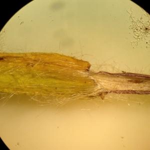 Photographie n°1952552 du taxon Dichanthelium acuminatum (Sw.) Gould & C.A.Clark [1979]
