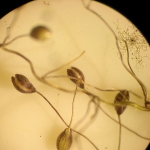 Photographie n°1952554 du taxon Dichanthelium acuminatum (Sw.) Gould & C.A.Clark [1979]