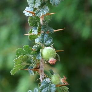 Photographie n°1955159 du taxon Ribes uva-crispa L. [1753]