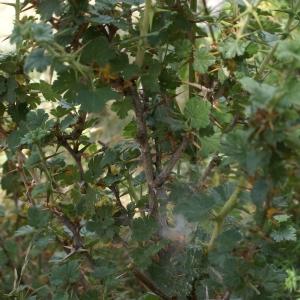Photographie n°1955165 du taxon Ribes uva-crispa L. [1753]