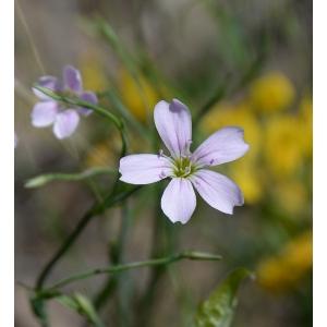 Petrorhagia saxifraga (L.) Link subsp. saxifraga (Oeillet saxifrage)