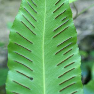 Photographie n°1962154 du taxon Asplenium scolopendrium L. [1753]