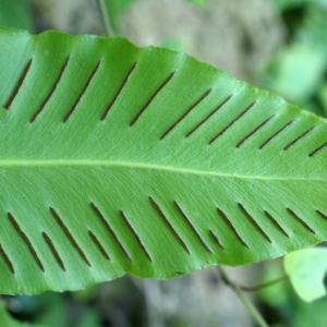 Photographie n°1962159 du taxon Asplenium scolopendrium L. [1753]