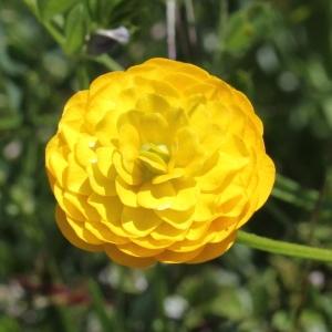 Photographie n°1962601 du taxon Ranunculus bulbosus L. [1753]
