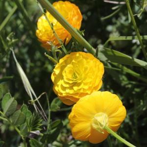 Photographie n°1962604 du taxon Ranunculus bulbosus L. [1753]