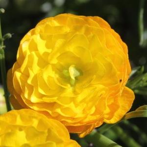 Photographie n°1962612 du taxon Ranunculus bulbosus L. [1753]