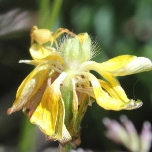 Photographie n°1962614 du taxon Ranunculus bulbosus L. [1753]