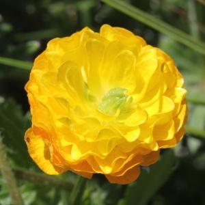 Photographie n°1962621 du taxon Ranunculus bulbosus L. [1753]