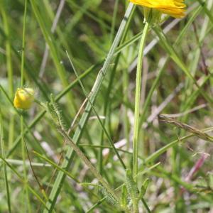 Photographie n°1962626 du taxon Ranunculus bulbosus L. [1753]