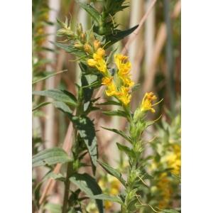 Odontites luteus subsp. lanceolatus (Gaudin) P.Fourn. [1937] (Euphraise à feuilles lancéolées)