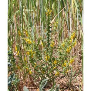 Odontites ruber subsp. lanceolatus (Gaudin) Bonnier & Layens (Euphraise à feuilles lancéolées)