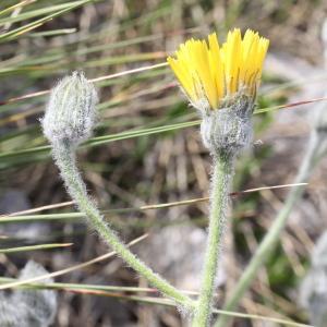 Photographie n°1963690 du taxon Hieracium tomentosum L. [1755]