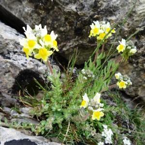 Photographie n°1966178 du taxon Linaria supina subsp. pyrenaica (DC.) Nyman [1881]