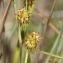 Marie  Portas - Carex flava L. [1753]