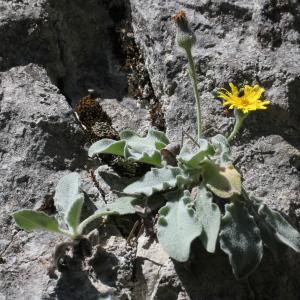 Photographie n°1967215 du taxon Hieracium tomentosum L. [1755]