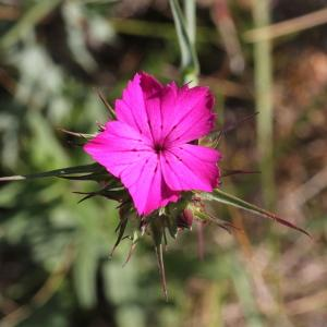 Photographie n°1967376 du taxon Dianthus balbisii Ser. [1824]