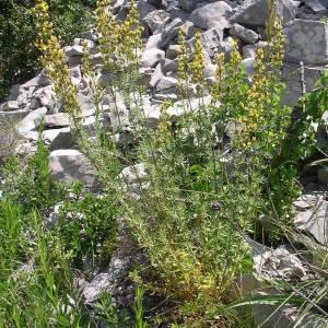 Photographie n°1967912 du taxon Hypericum hyssopifolium Chaix [1785]