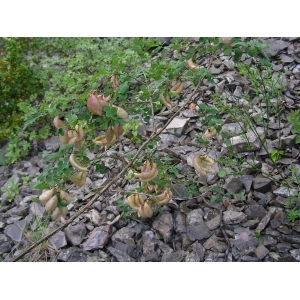 Colutea arborescens subsp. gallica Browicz [1963] (Baguenaudier de France)